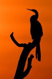 Berger_Anke_02_Schlangenhalsvogel